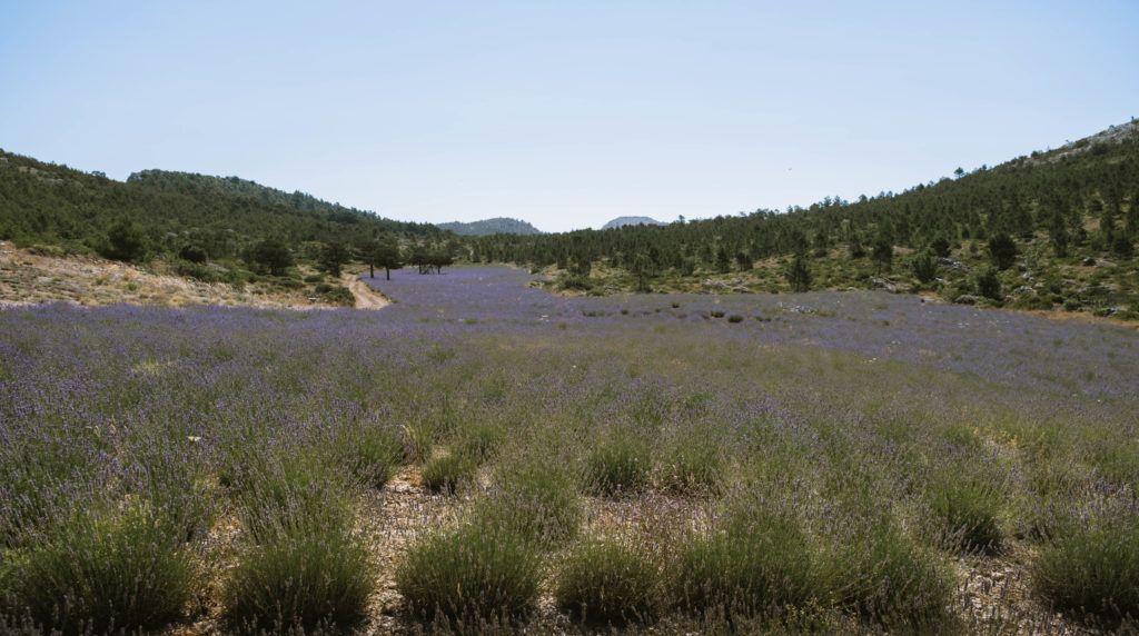 new lavender fields in hvar